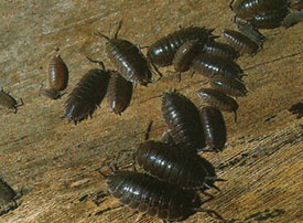 Wood Lice Pest Control Infestation Ca